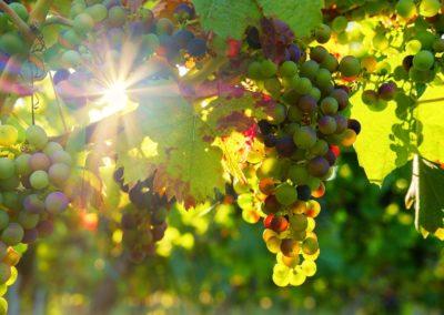 Vignes du Pays de Retz, près du vignoble Nantais
