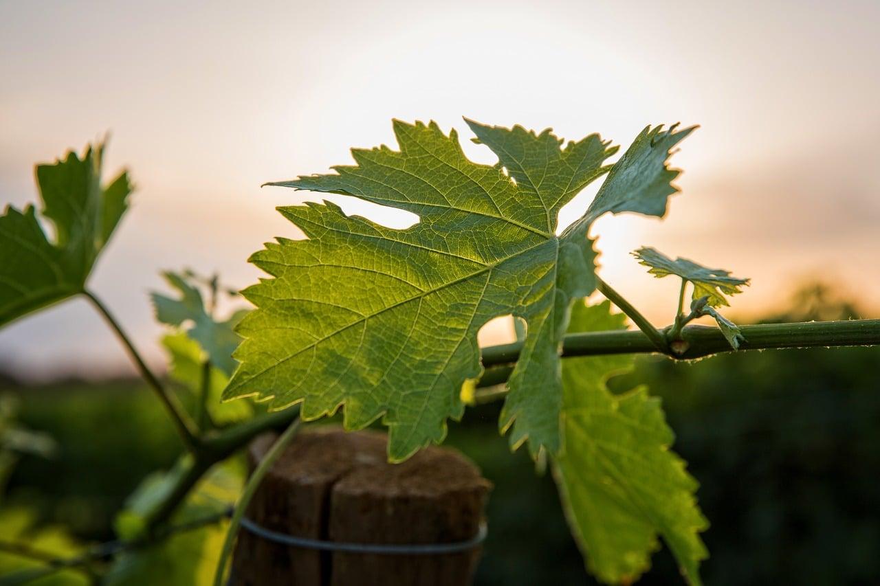 Boire du vin nature (S.A.I.N.S)