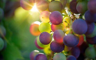 Quelles différences entre le vin bio, le vin nature et celui produit en biodynamie ?