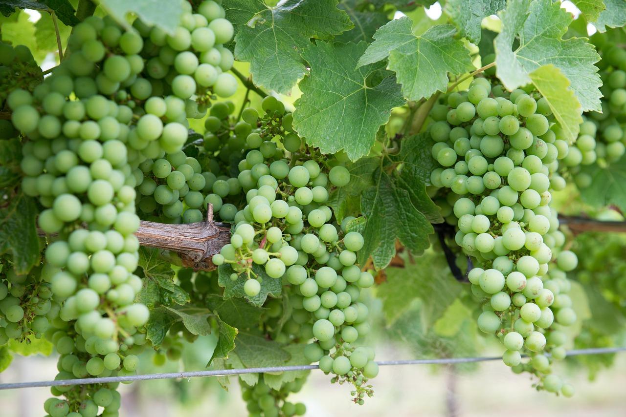 Le Chardonnay, le vin le plus vendu au monde